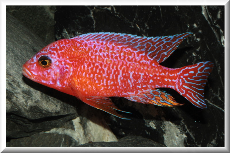 Pin aulonocara fire fish 02jpg on pinterest for Malawi buntbarsch