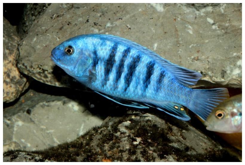 Malawi buntbarsch labidochromis freibergi for Malawi buntbarsch